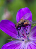 Fliege auf Blume. süßes Frühstück Lizenzfreies Stockbild