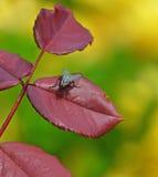 Fliege auf dem Blatt Lizenzfreie Stockfotos