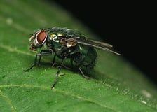 Fliege auf dem Blatt Stockfotografie