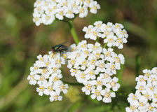 Fliege auf dem Grundältesten Stockfotografie