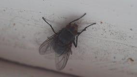 Fliege auf dem schmutzigen Fensterabschluß herauf Makro stock video