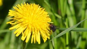 Fliege auf der Blume stock video footage