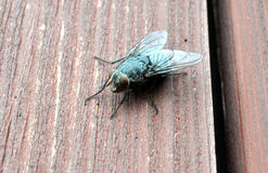 Fliege auf der braunen Holztür Stockbilder
