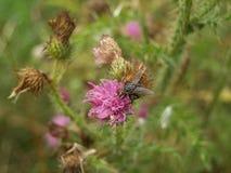 Fliege auf Distel Lizenzfreies Stockfoto