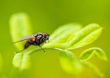 Fliege auf einem Blatt Stockfotografie