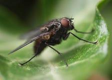 Fliege auf einem Blatt Lizenzfreie Stockfotos