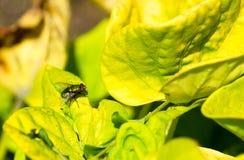 Fliege auf einem Blatt Stockfoto