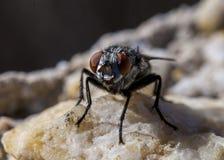 Fliege auf einem Felsen Stockbild