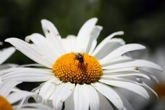 Fliege auf einem Gänseblümchen. Stockbild