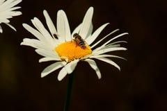 Fliege auf einem Gänseblümchen. Stockfotografie