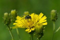 Fliege auf einer Saudistelblume Stockfotografie