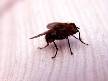 Fliege auf einer Socke Stockbild