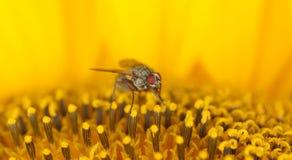 Fliege auf einer Sonnenblume Stockbilder