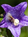 Fliege auf einer Spinne Lizenzfreies Stockfoto