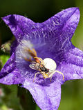 Fliege auf einer Spinne Lizenzfreies Stockbild