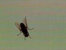 Fliege auf einer TFT Bildschirmanzeige Stockfotos