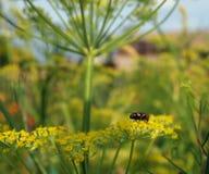 Fliege auf Fenchel Lizenzfreies Stockbild