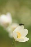 Fliege auf Frühlingsschneeflocke Lizenzfreie Stockbilder