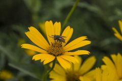 Fliege auf Gänseblümchen Stockbild