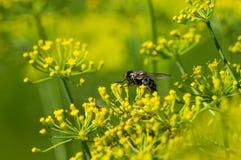Fliege auf gelben Blumen Lizenzfreies Stockbild