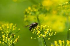 Fliege auf gelben Blumen Stockbild