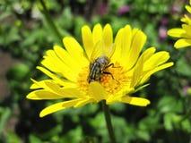 Fliege auf gelber Blume, Litauen Stockbild