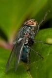 Fliege auf grünem Blatt Lizenzfreies Stockbild