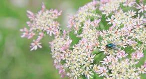 Fliege auf hogweed Blumen Lizenzfreie Stockbilder