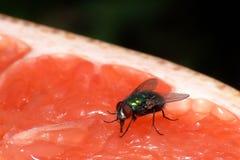 Fliege auf Pampelmuse Lizenzfreie Stockbilder