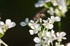Fliege auf Schafgarbe Stockfotografie