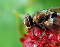 Fliege auf Walderdbeere Stockbilder