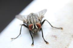 Fliege auf weißem Hintergrund stockbild