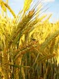 Fliege auf Weizen Stockbild