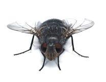 Fliege closup Lizenzfreies Stockbild
