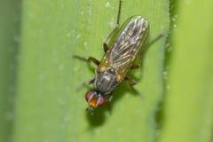 Fliege in der Anlage (Diptera) Stockbilder