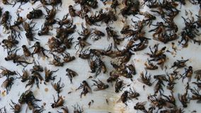 Fliege in der Kleberfalle stock video