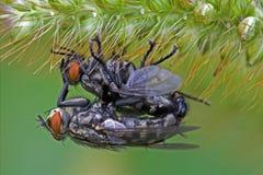 Fliege in der Liebe Stockbild
