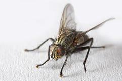 Fliege in der Makrobetriebsart Stockbilder