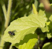 Fliege, die auf dem Blatt sitzt Lizenzfreies Stockfoto