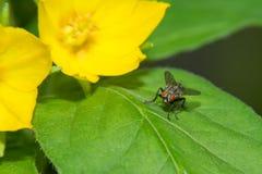 Fliege, die auf einem grünen Blatt sitzt Stockfotografie