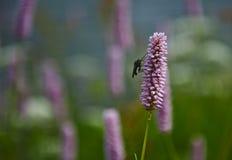 Fliege, die auf einer lila Blume sitzt [Bistorta-officinalis] stockfoto
