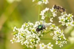 Fliege, die auf einer weißen Blume sitzt Lizenzfreie Stockbilder