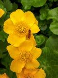 Fliege, die auf gelbem Marsh Marigold Flowers stillsteht stockfotografie