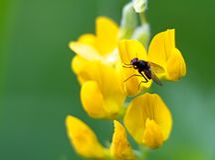 Fliege, die Lebensmittel in der gelben Blume findet Lizenzfreie Stockfotografie