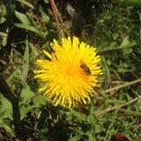 Fliege, die süßen Nektar isst Stockbilder