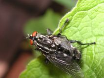 Fliege, die seine Flügel erweitert Lizenzfreie Stockfotos