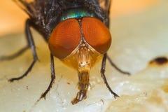 Fliege, die Trockenfisch isst Stockbild