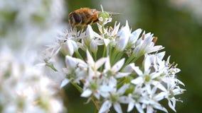 Fliege Diptera Syrphidae stock footage