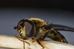 Fliege - ein Nachahmen lizenzfreie stockfotos