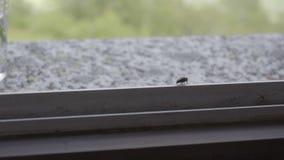 Fliege in einem Fenster stock video footage